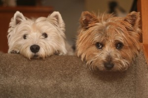 westie and cairn terriers