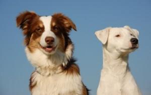 chiens de compagnie
